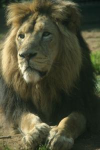 Kamal the lion
