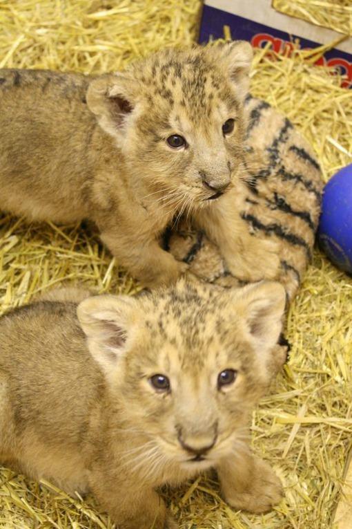 Bristol Zoo lion cubs